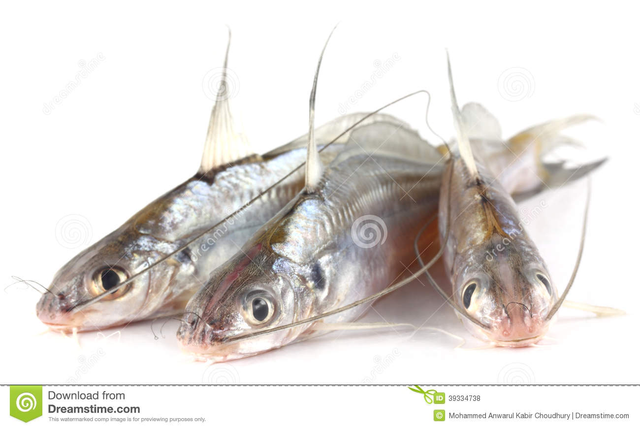 Aninimal Book: Tengra fish of Bangladesh stock photo. Image of striped ...