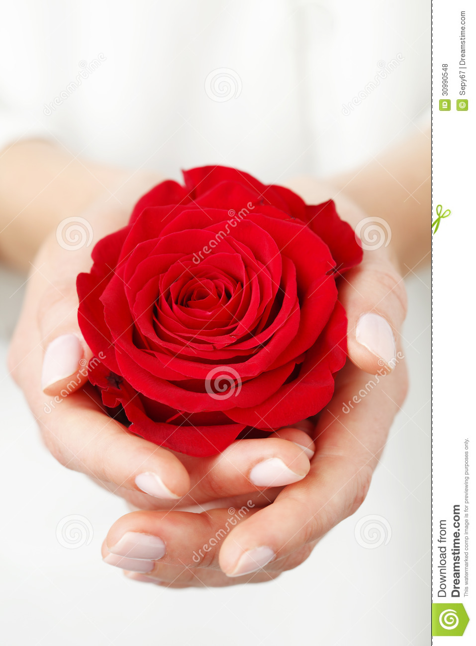Image D Une Rose Rouge tenir une rose rouge photo stock. image du bouquet, manucure - 30990548