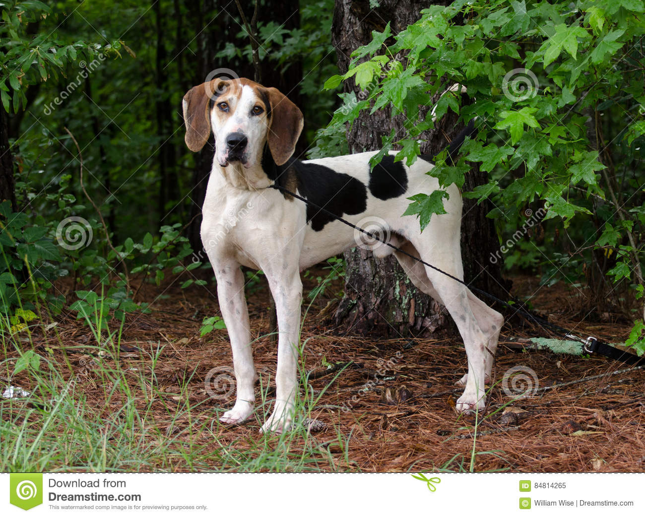 Shiba Inu Dog Reviews besides Watch also Shepherd Mix 3 also File Beagle harrier as well Harrier Puppy Best Pictures. on miniature beagle for adoption