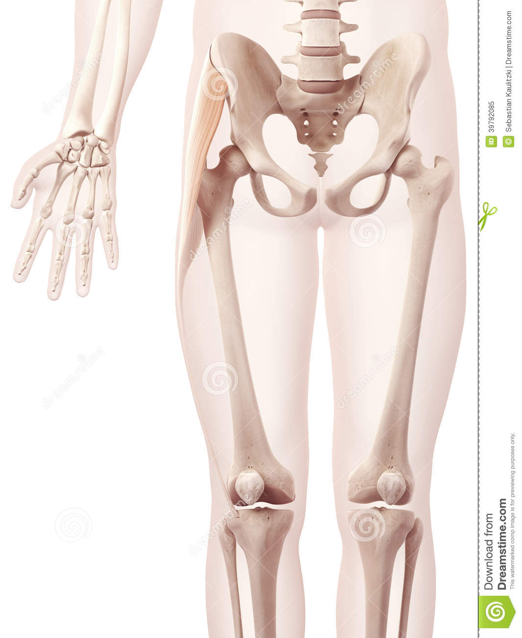 Tensior fascia lata stock illustration. Illustration of diagram ...
