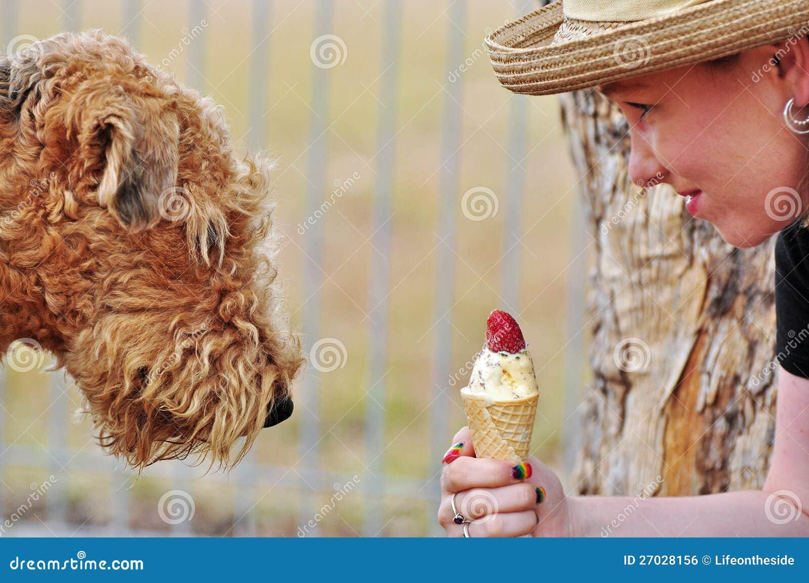 Tentación dulce, perro del Airedale que mira fijamente el helado