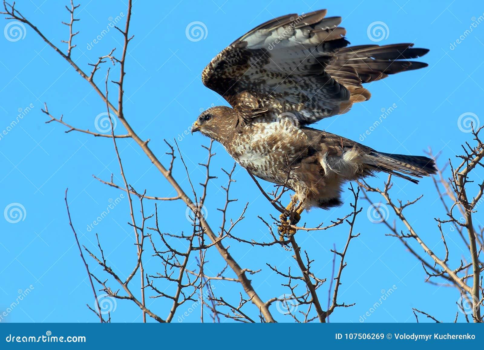 Tentativas comuns de um busardo a voar