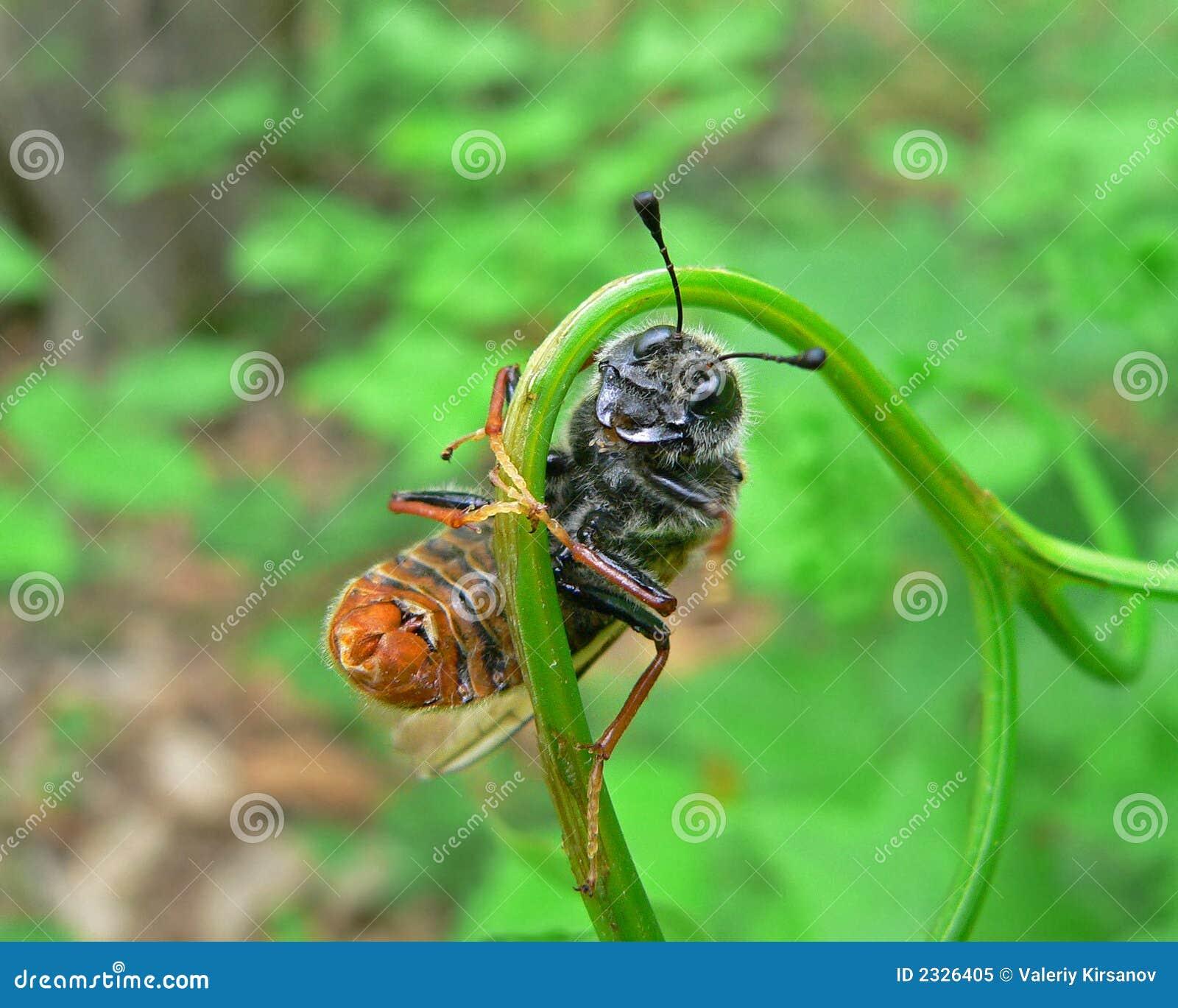 Tenthrède d insecte (Cimbicidae)