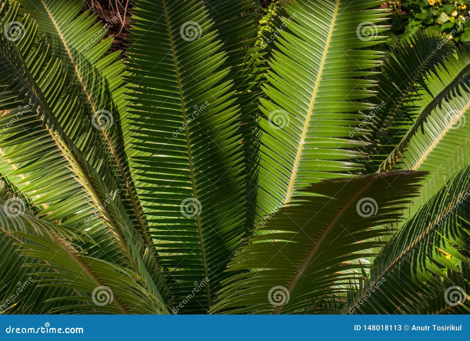 Teosinte Dioon palmowi mejiae, wielokrotno?? ro?liny