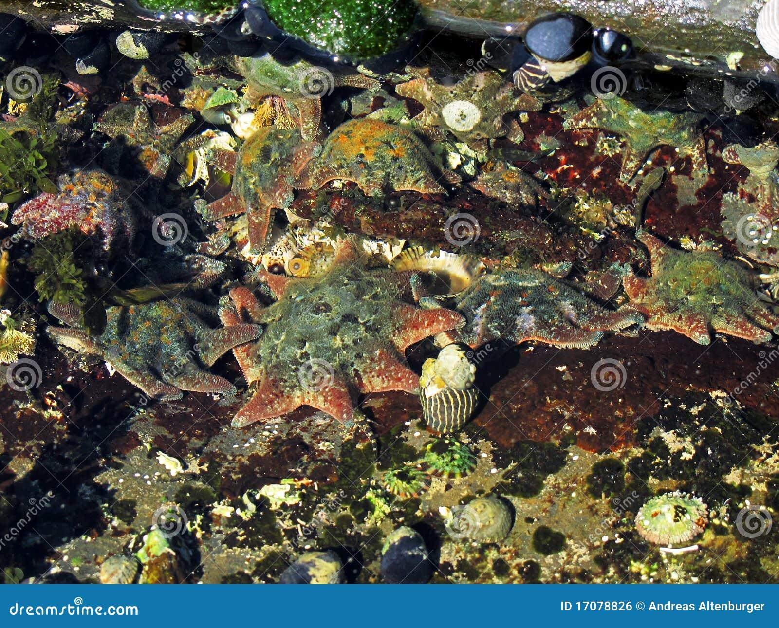 Teppich-Seestern, Patiriella calcar