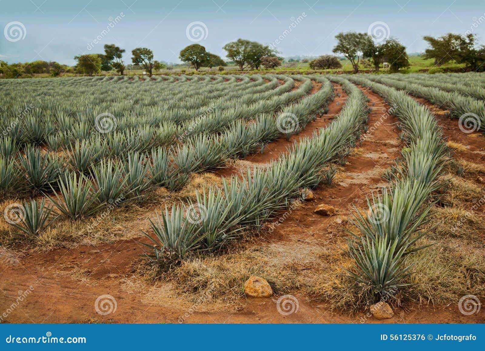 Tequilalandskap
