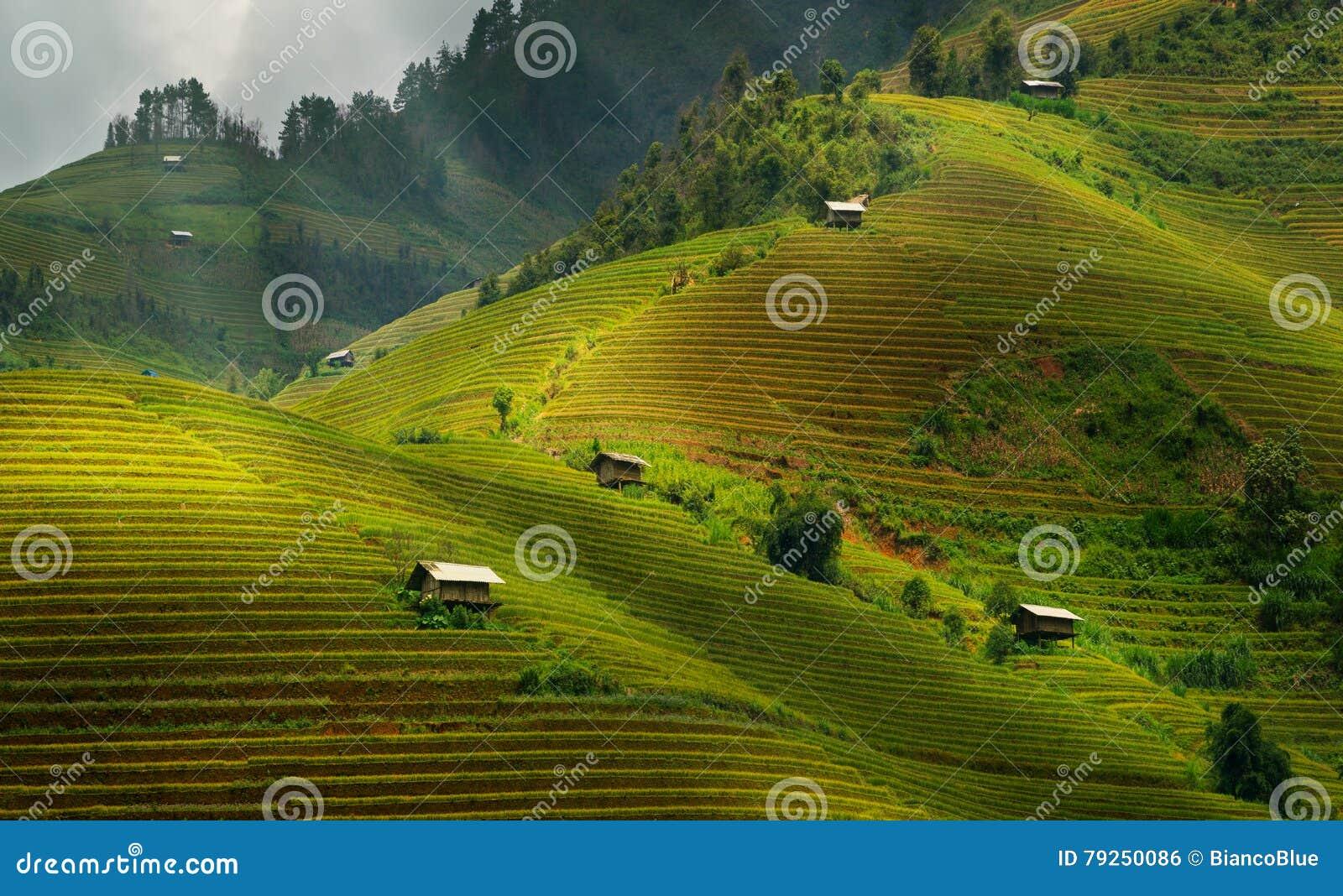 Terassenförmig angelegtes Reisfeld in MU Cang Chai, Vietnam