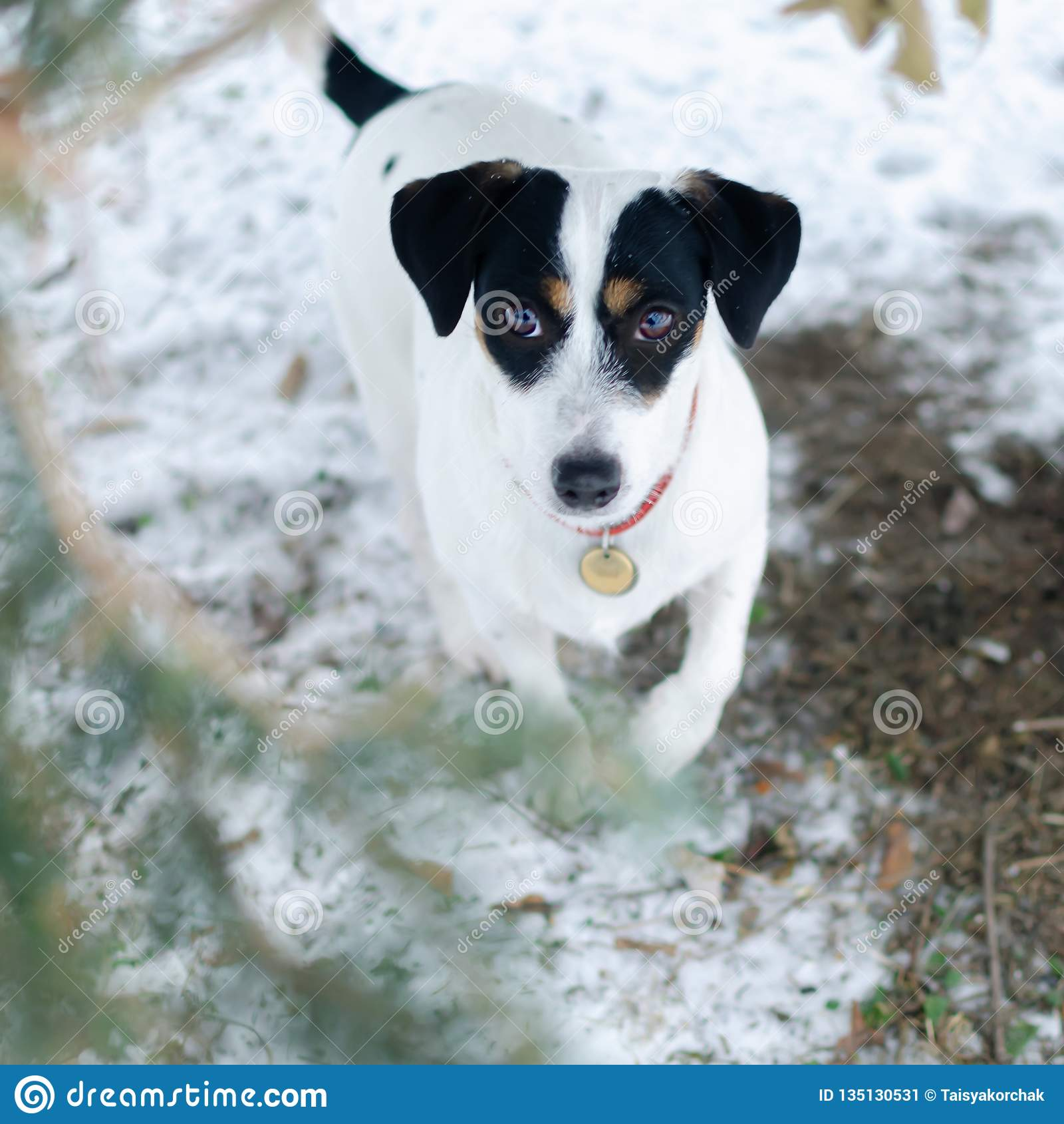 Terier jack Russell Chodzić outdoors w zimie piękny zbliżenie portret