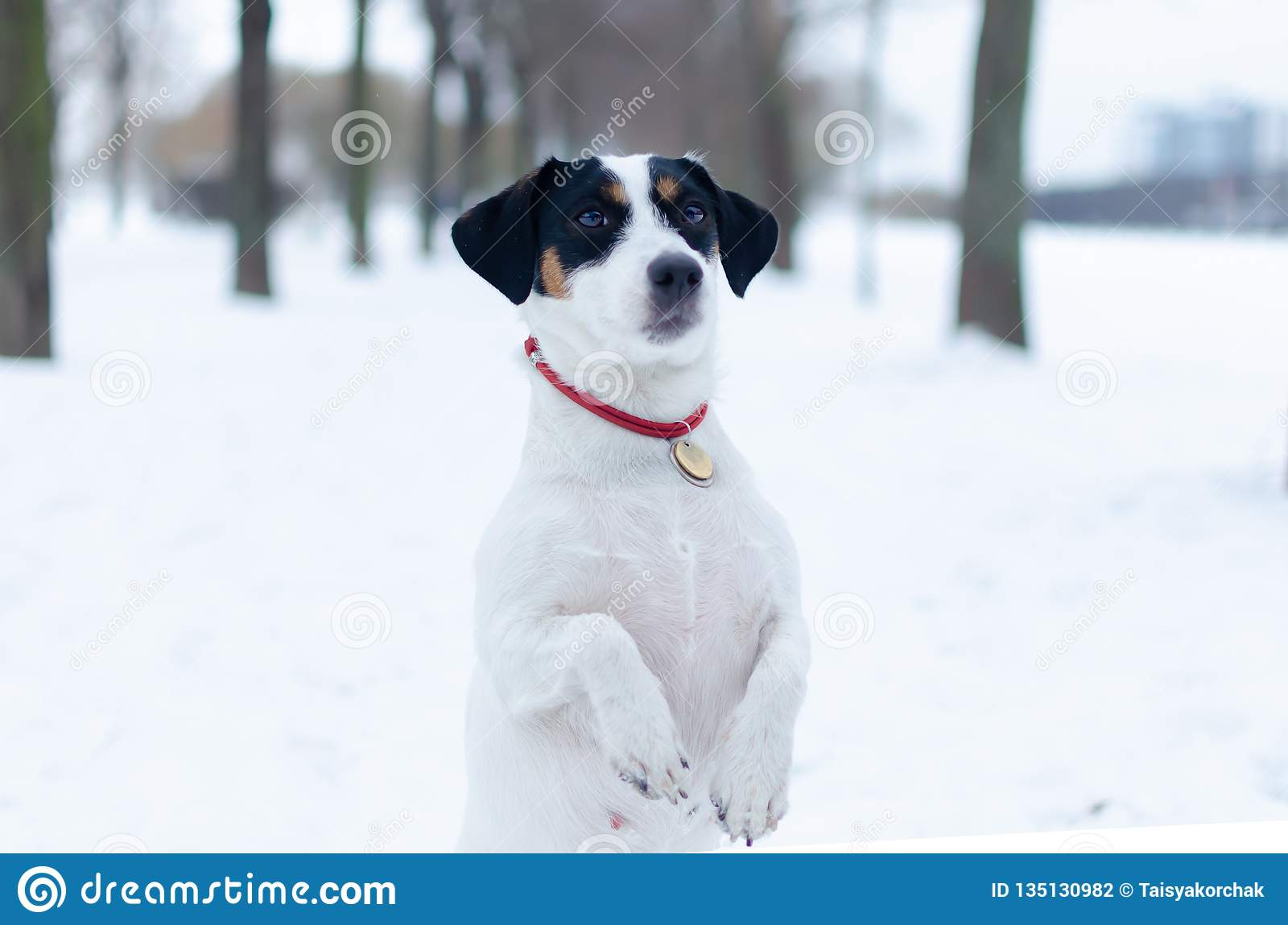 Terier jack Russell E Chodzić outdoors w zimie