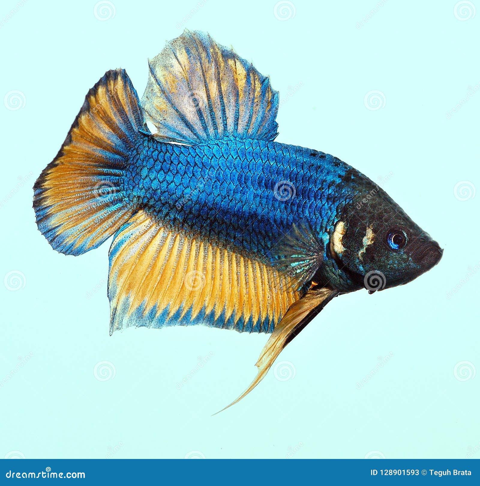 Mustard Gas Betta Splenden Fish Stock Image Image Of Fish Betta 128901593