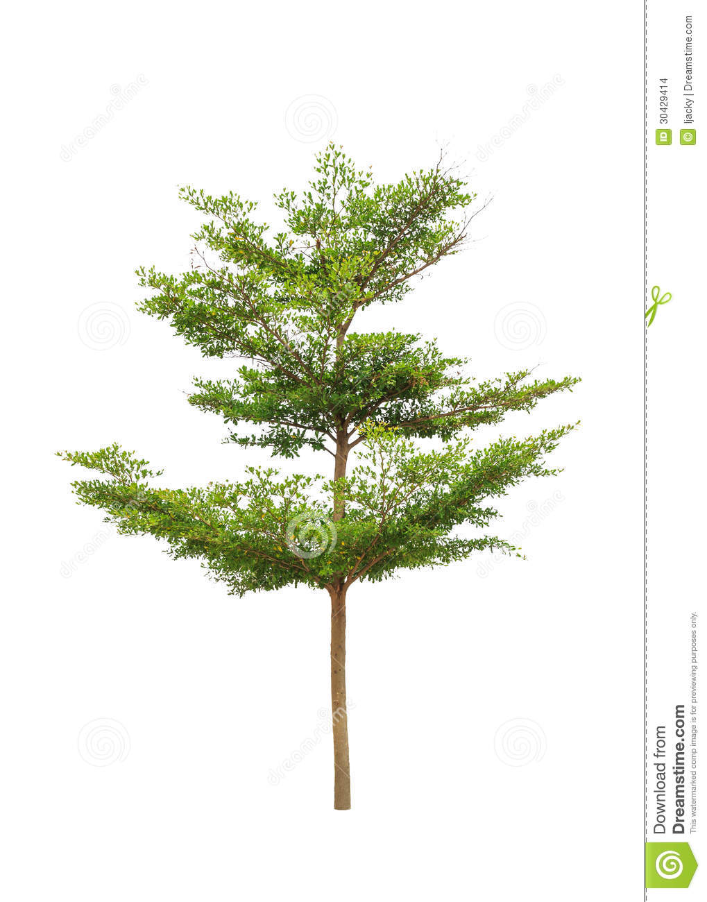 ... tree in the northeast of Thailand isolated on white background
