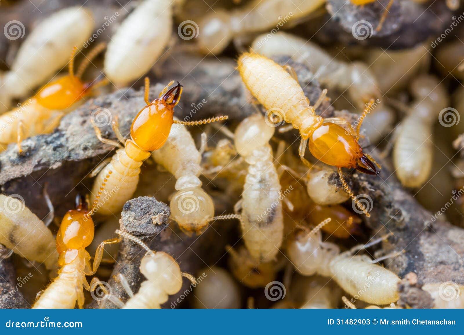 Termit lub białe mrówki