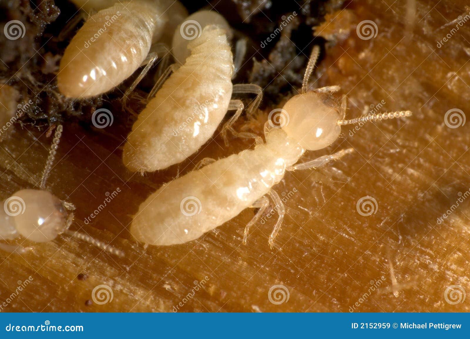 termiten lizenzfreie stockbilder bild 2152959. Black Bedroom Furniture Sets. Home Design Ideas