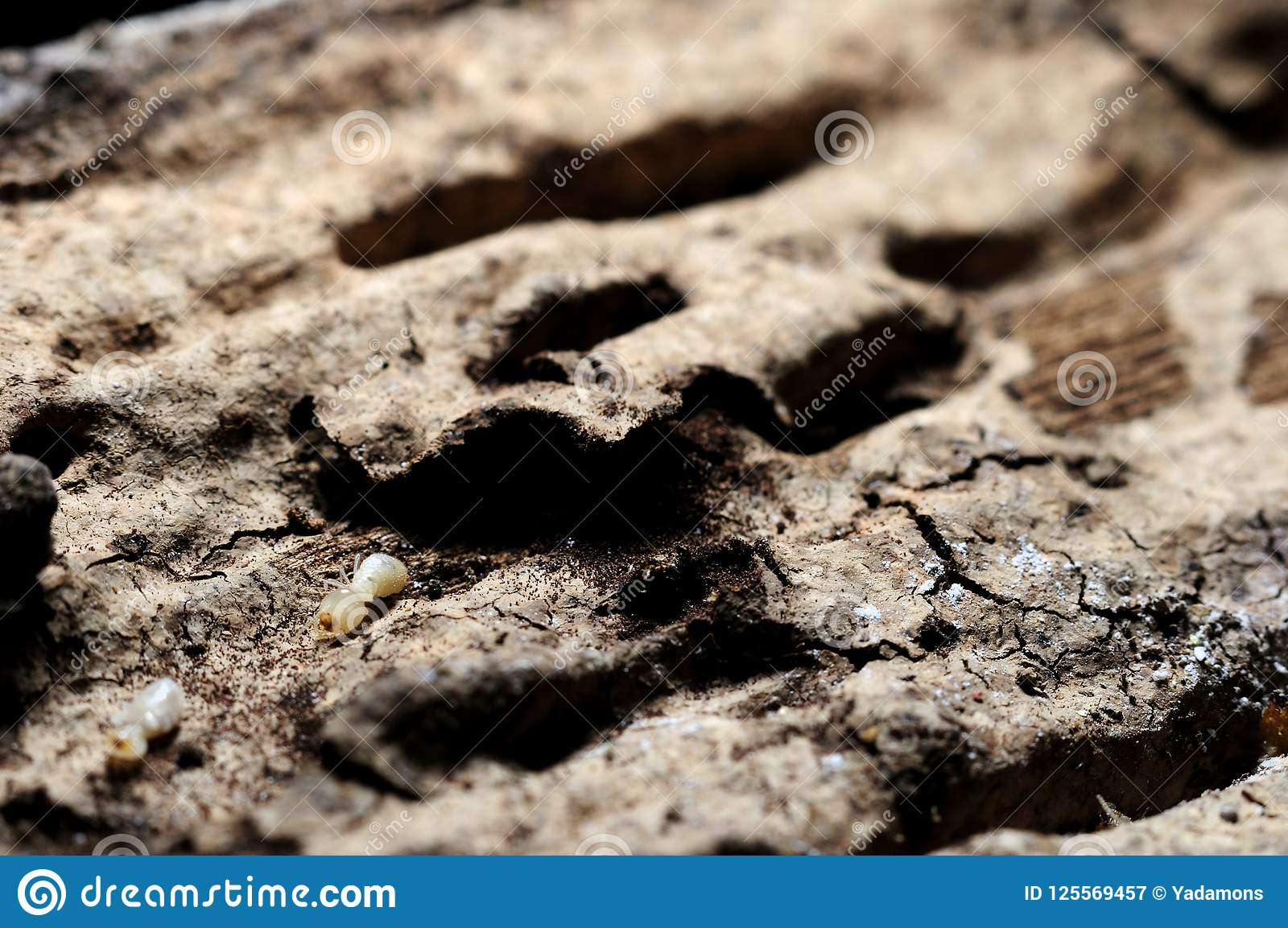 Download Termites Eat Wood House And Furniture. Stock Image   Image Of  Insect, Macro