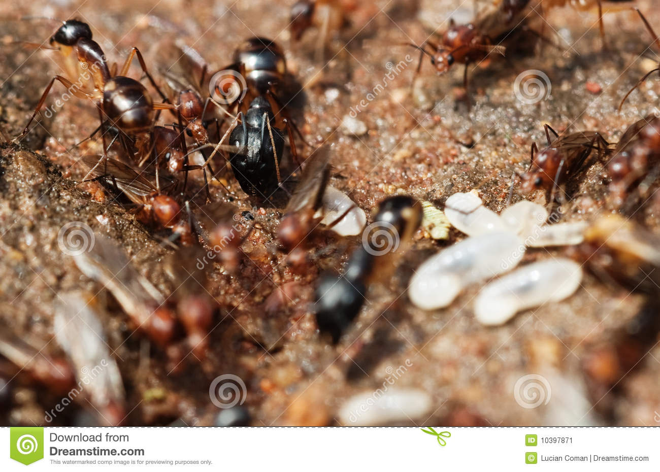 Red ant vs black ant games online