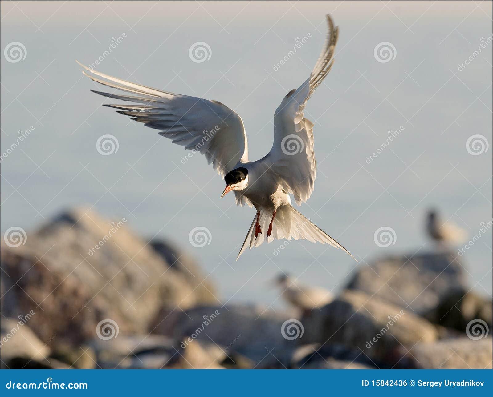 Tern посадки