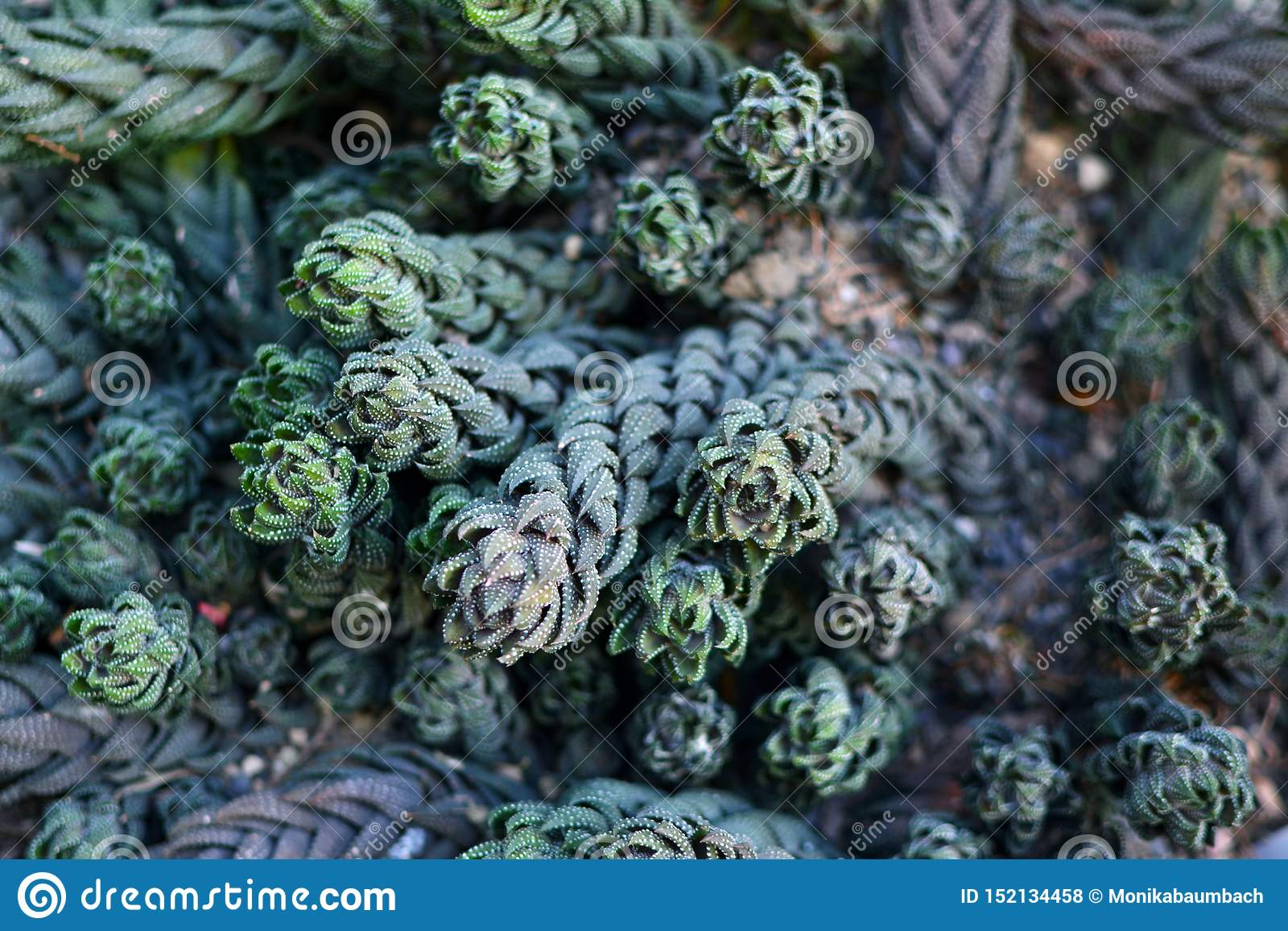 Terra coberta em plantas suculentos exóticas bonitas de Haworthiopsis Reinwardtii