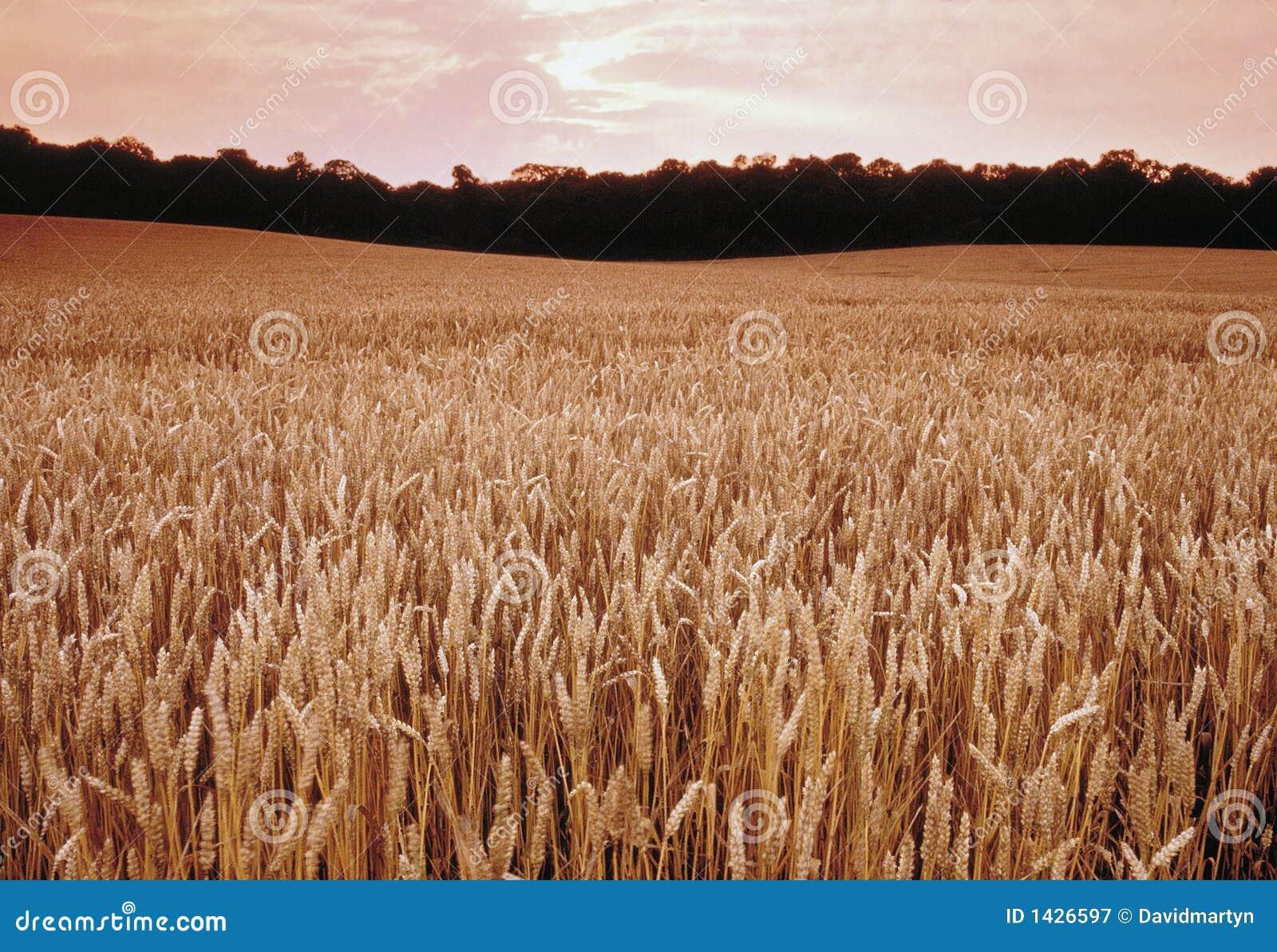 Terra com colheitas do cereal