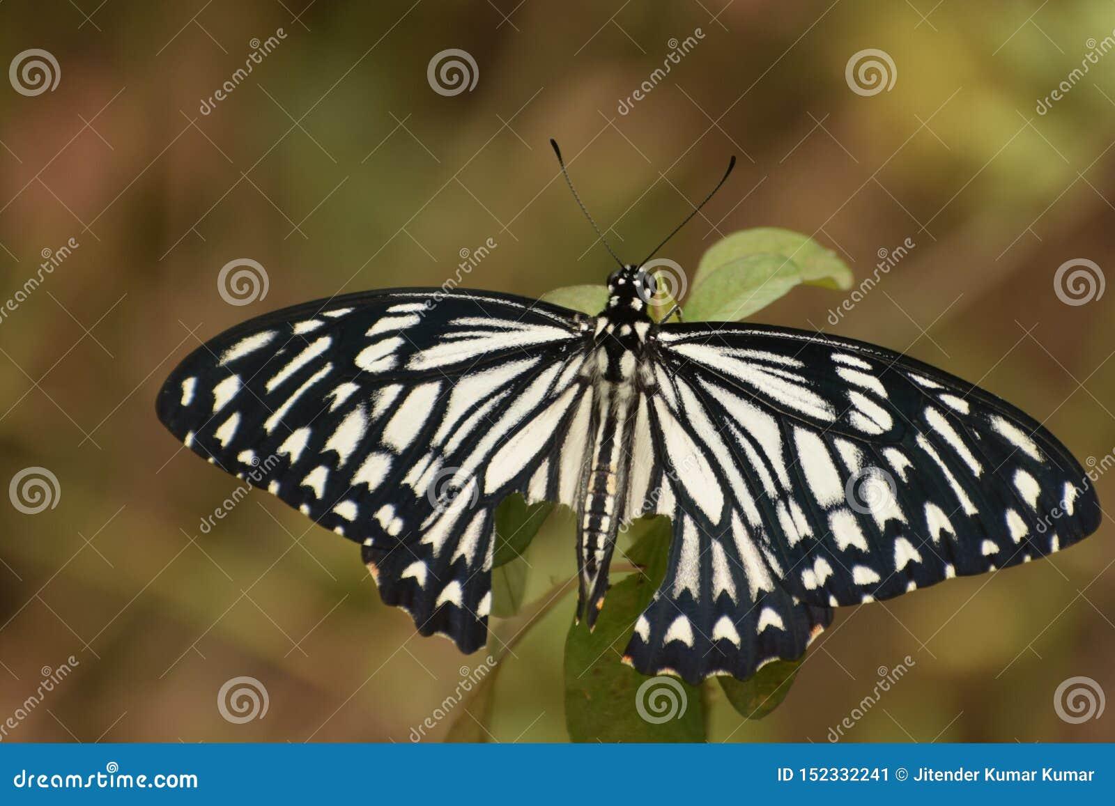 A terra comum bonita mimica a borboleta do clytia do papilio