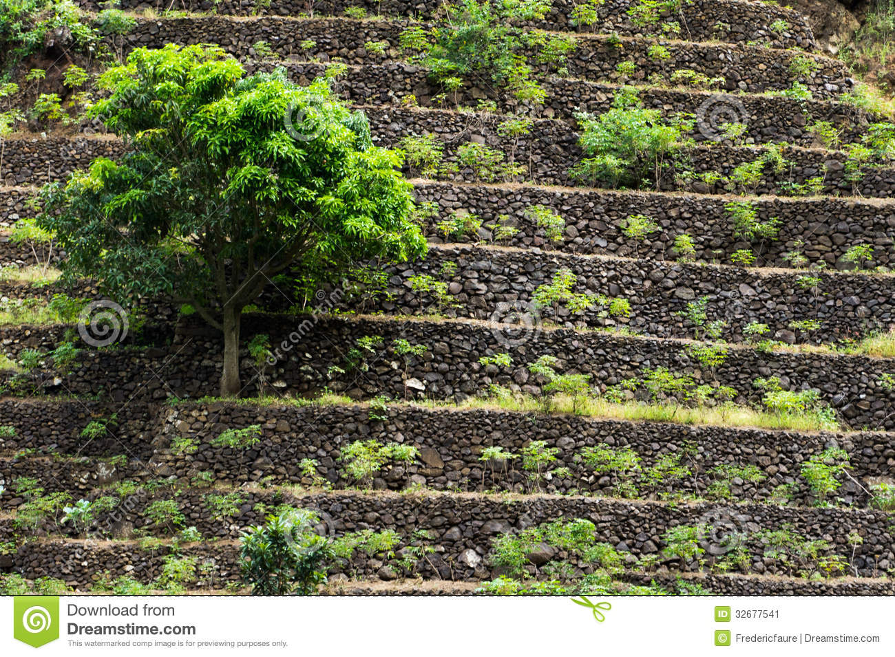The terrace field tree stock image image 32677541 for Terrace trees