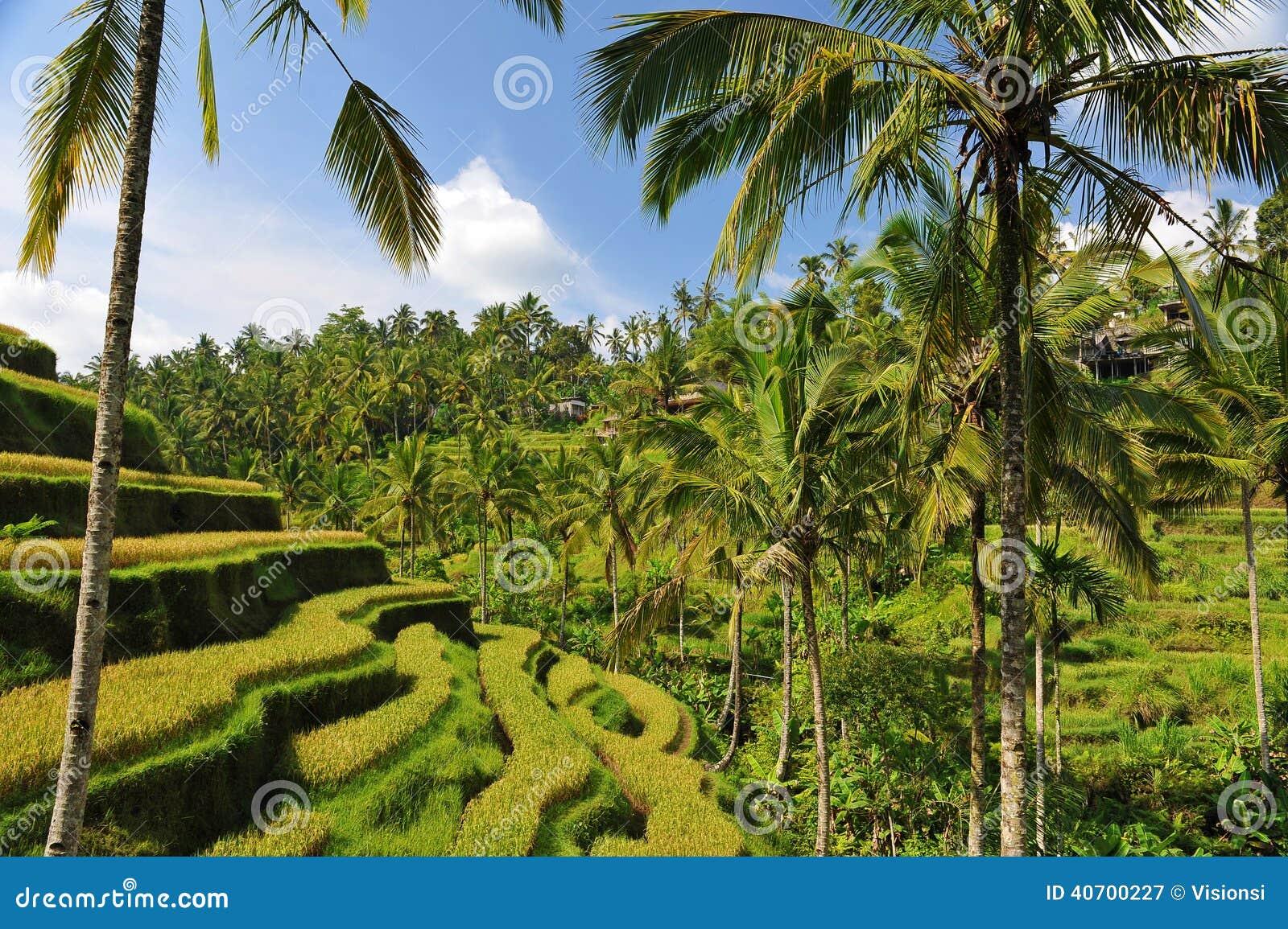 Terrace rice fields in the morning ubud bali stock image for Terrace ubud bali