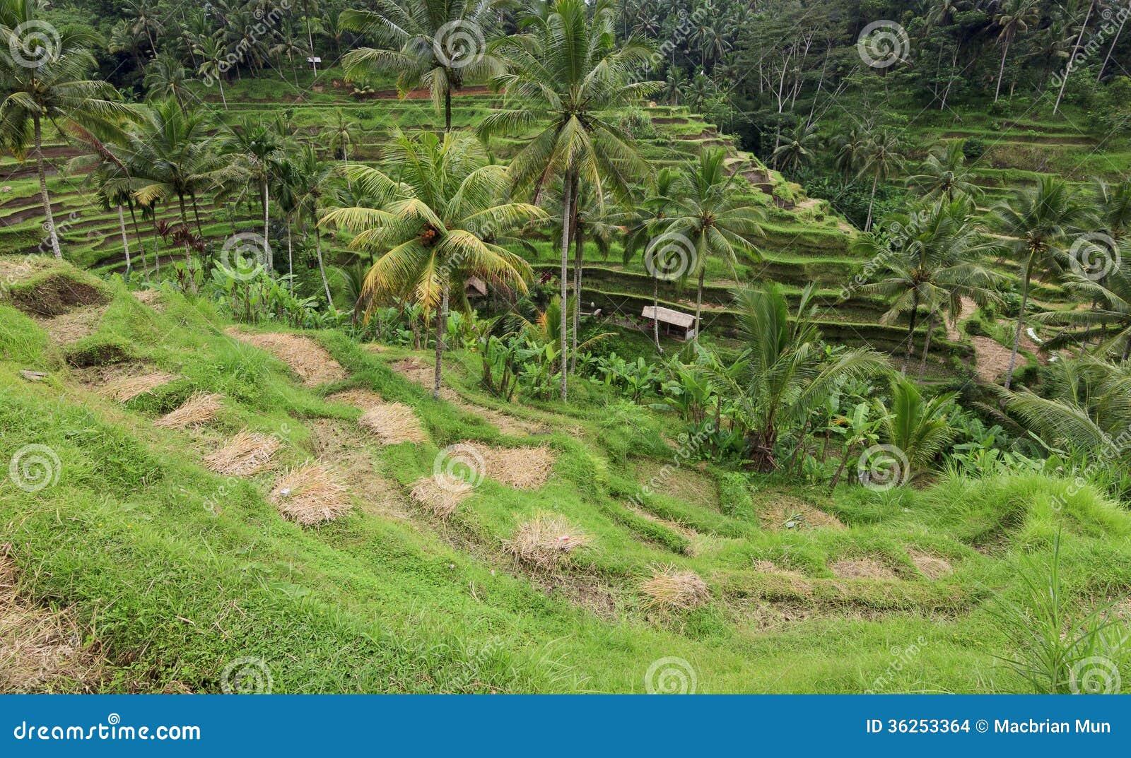 Terrace rice paddy field at ubud bali stock images for Terrace ubud bali