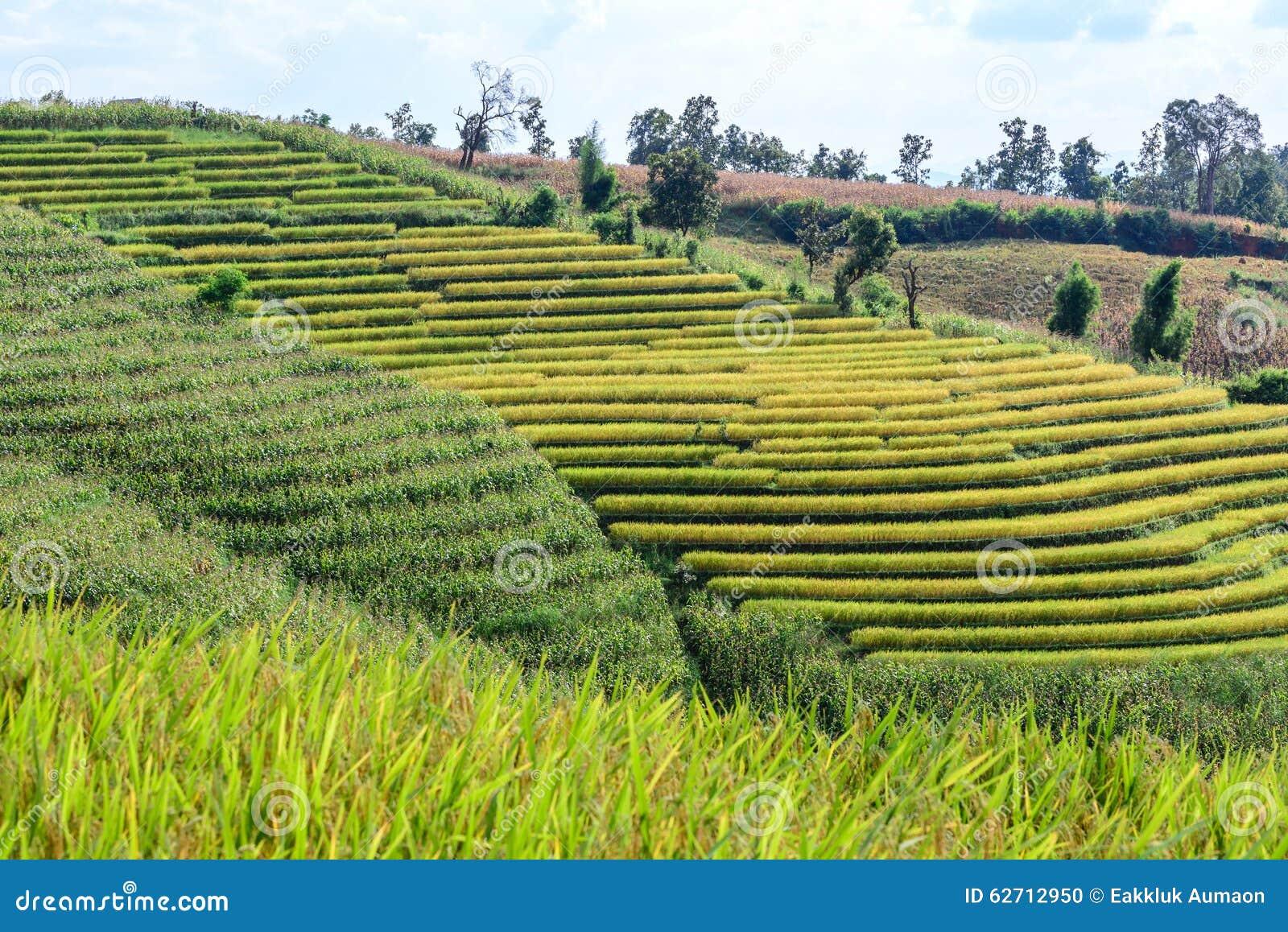 Terraced τομέας ρυζιού με το υπόβαθρο βουνών στην απαγόρευση PA Bong Piang, Chiang Mai στην Ταϊλάνδη