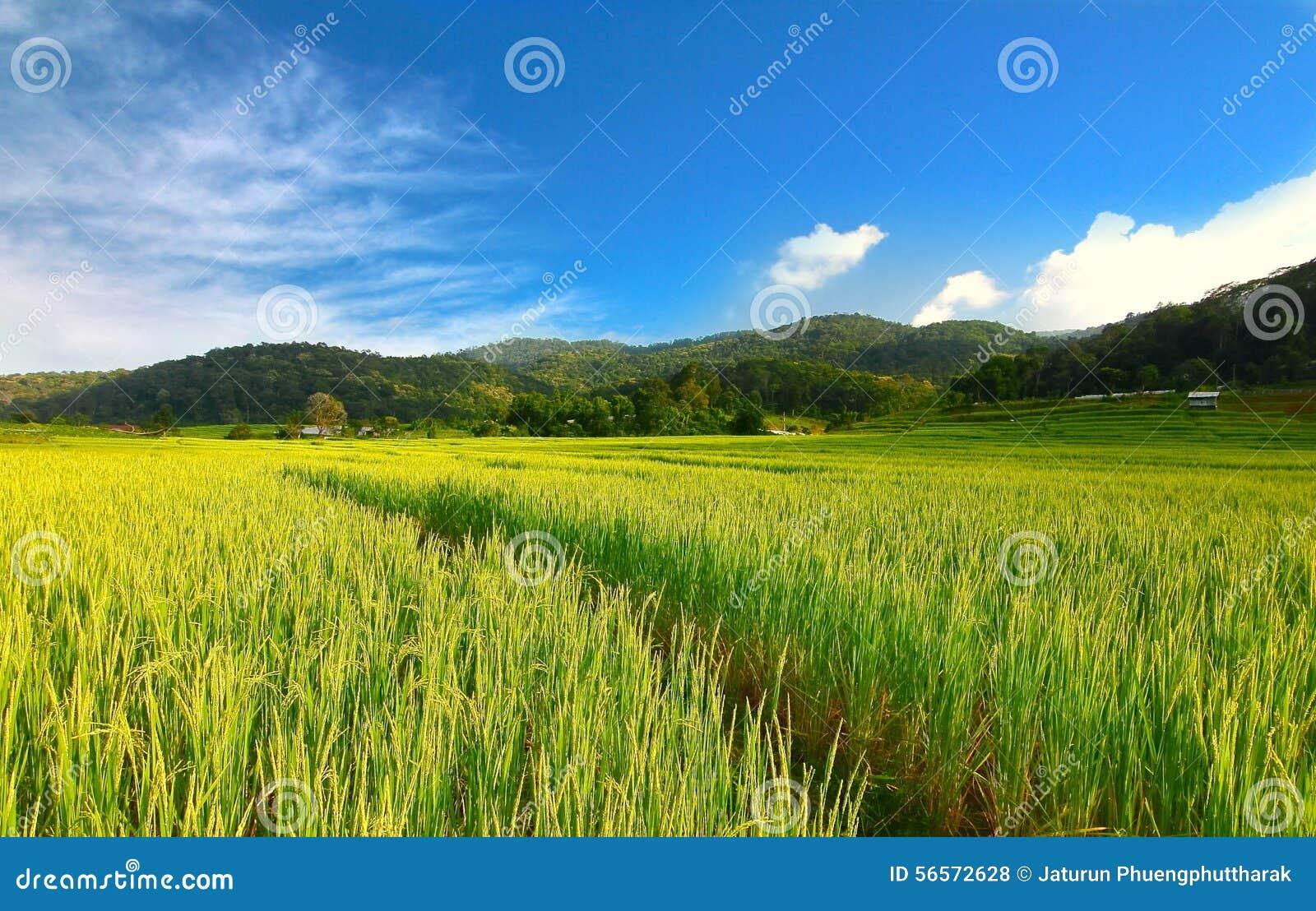 Download Terraced τομέας ρυζιού σε Chiangmai, Ταϊλάνδη Στοκ Εικόνες - εικόνα από αρχιτεκτονικής, λόφος: 56572628