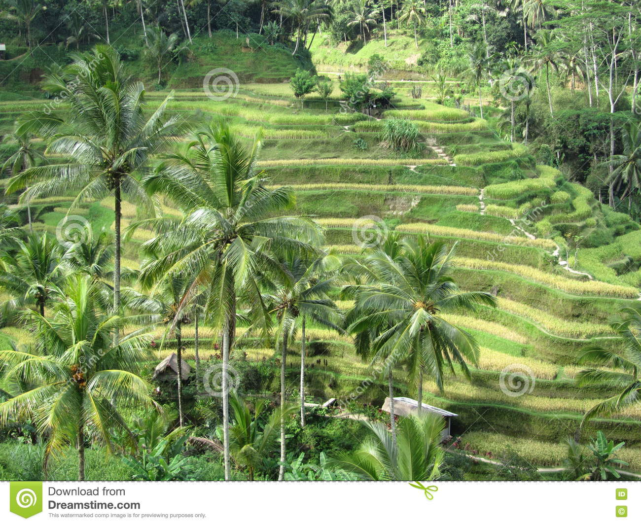 Terraced Rice Fields In Bali Stock Photo Image Of Coconut