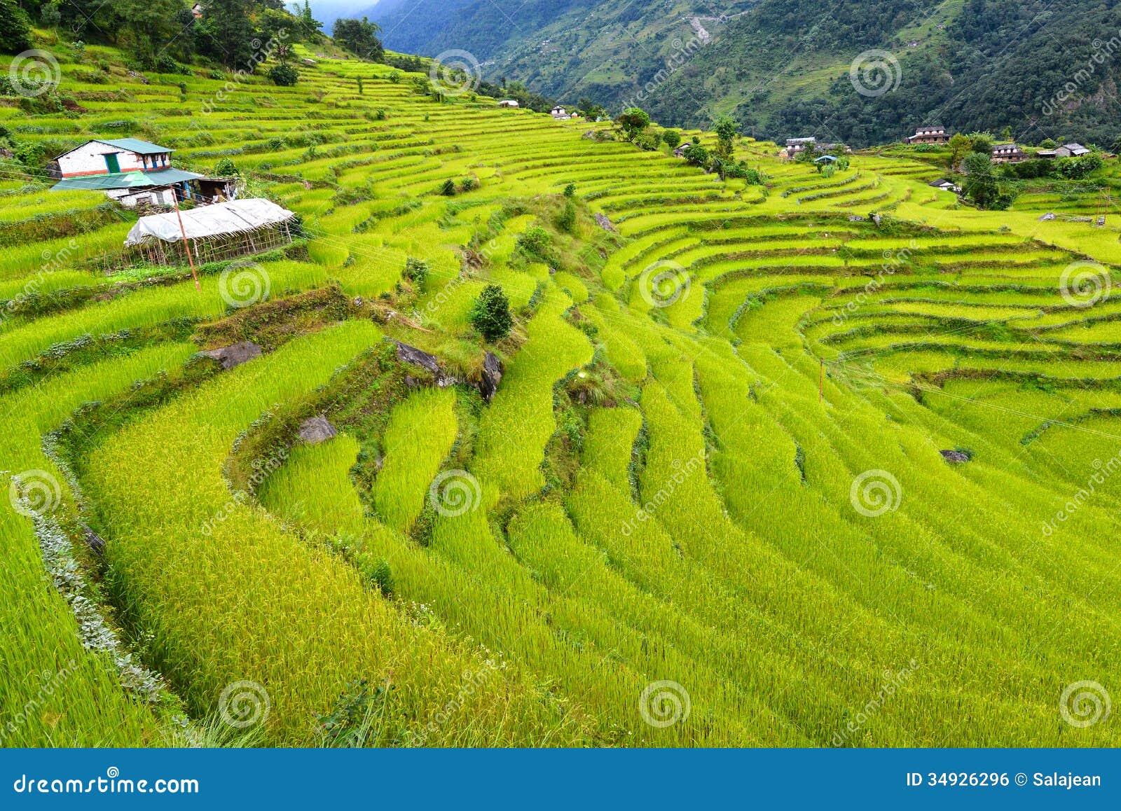 Terraced Rice Fields Himalayas Nepal Royalty Free Stock