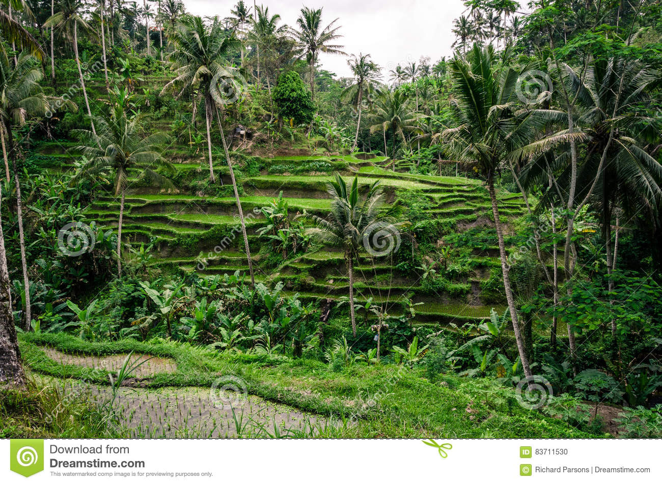 Terraced Rice Paddy Fields Stock Photo