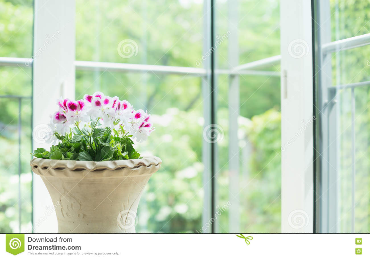 Terracotta vase or flowers pot with geranium flowers over window into the garden background, home decoration
