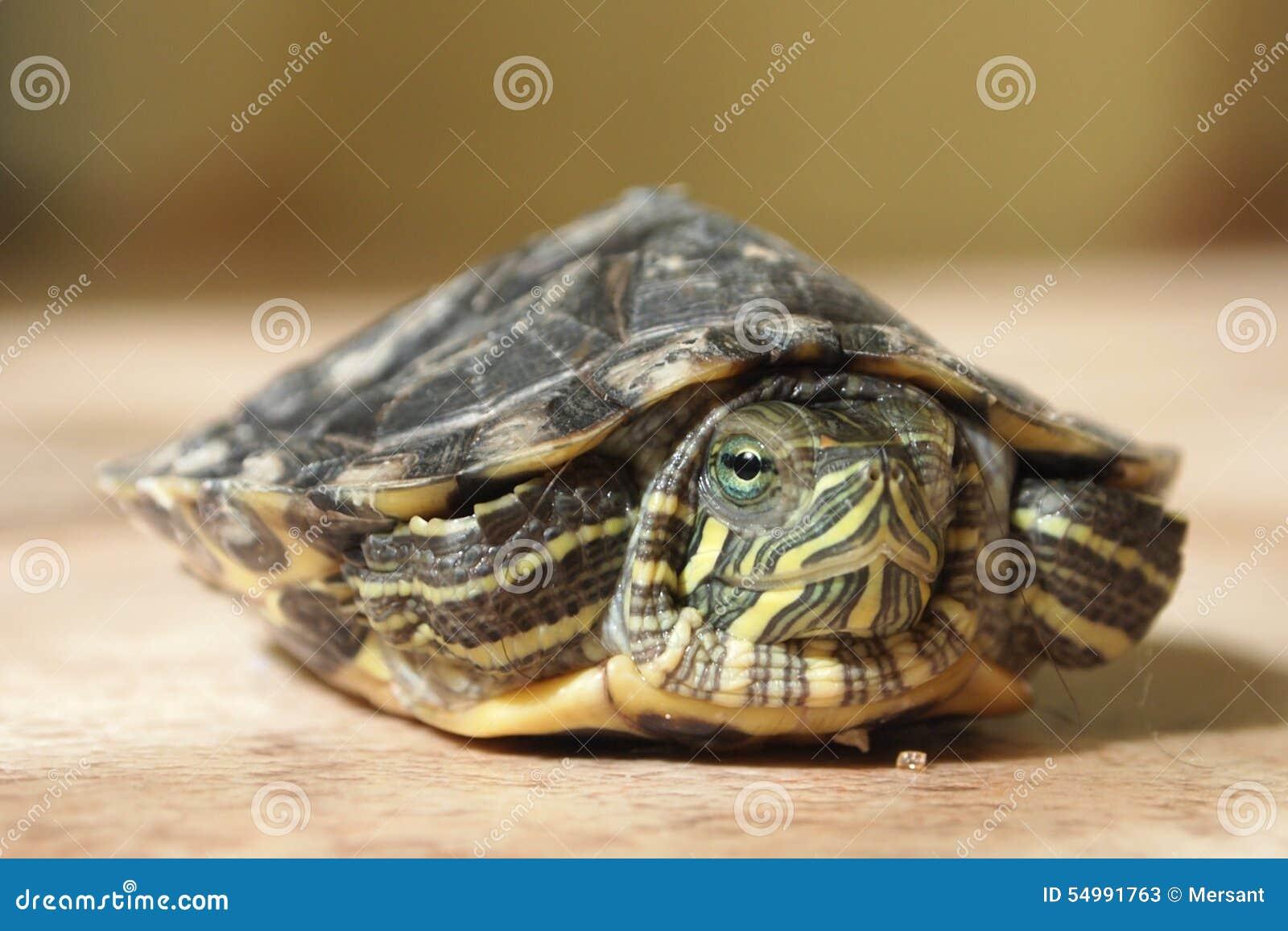 Terrapin moerasschildpad