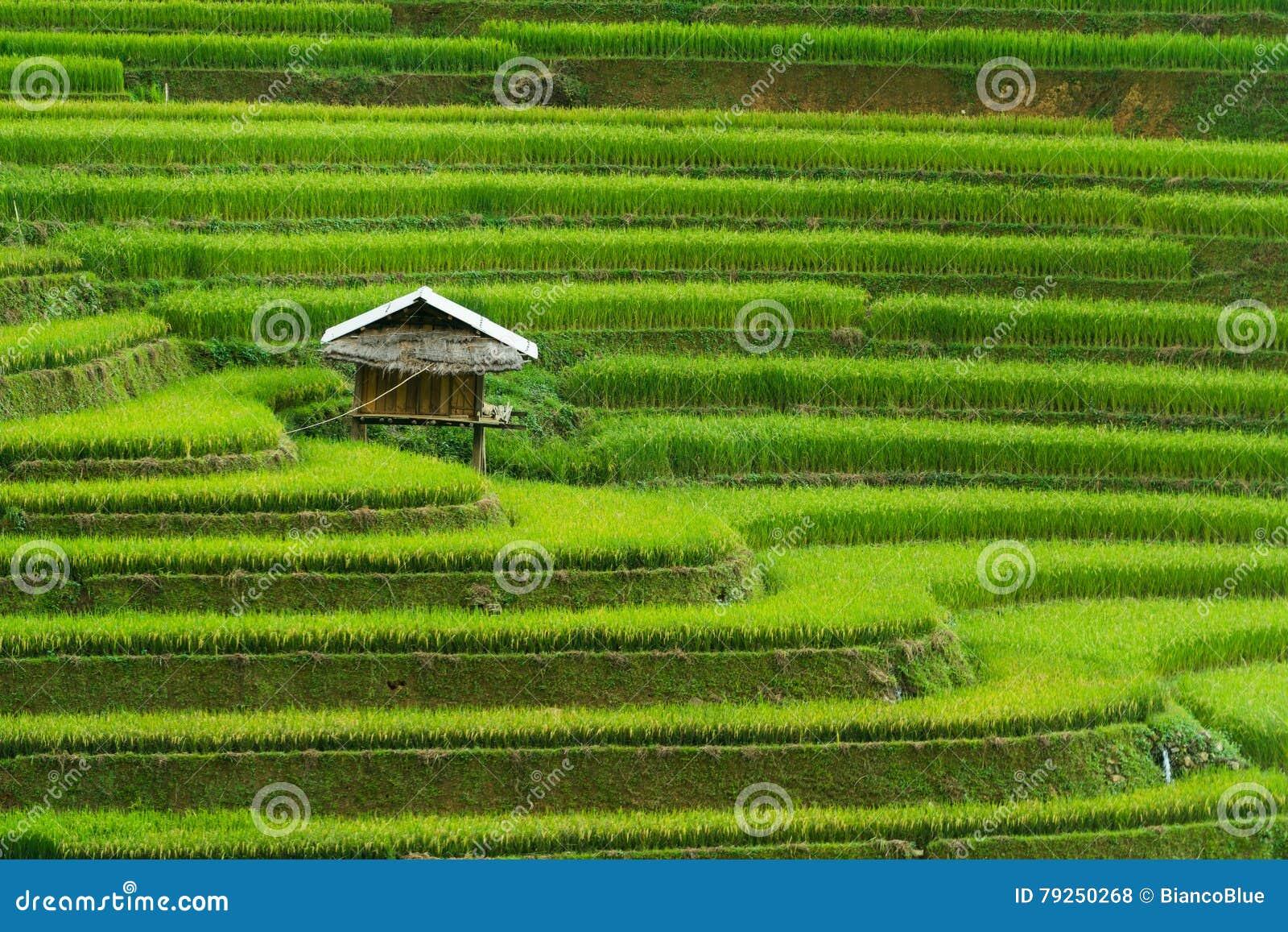 Terrasserad risfält i Mu Cang Chai, Vietnam