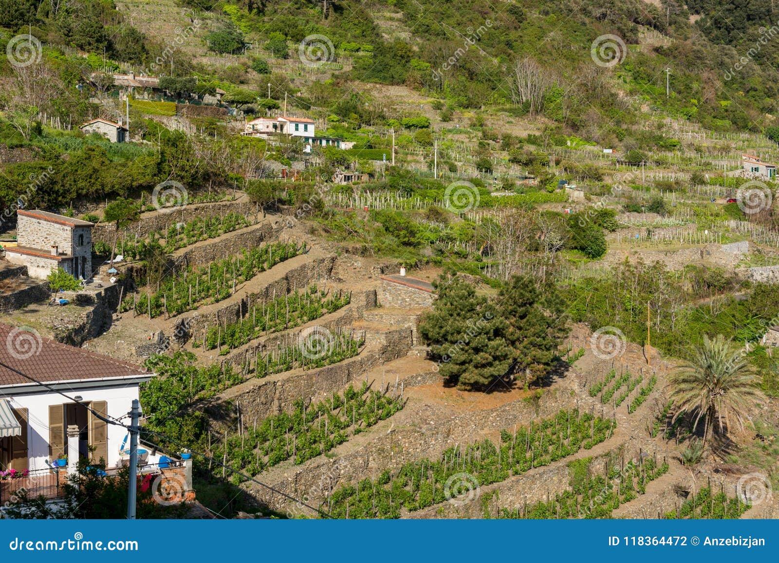 Terrasserad vinyard på en brant kulle
