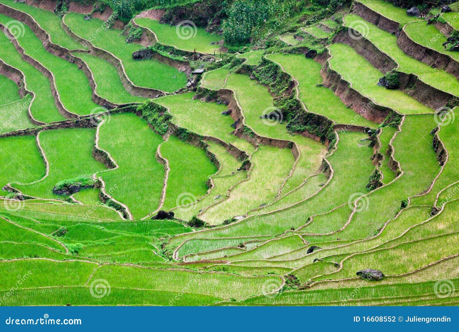 Terrasses vertes de riz