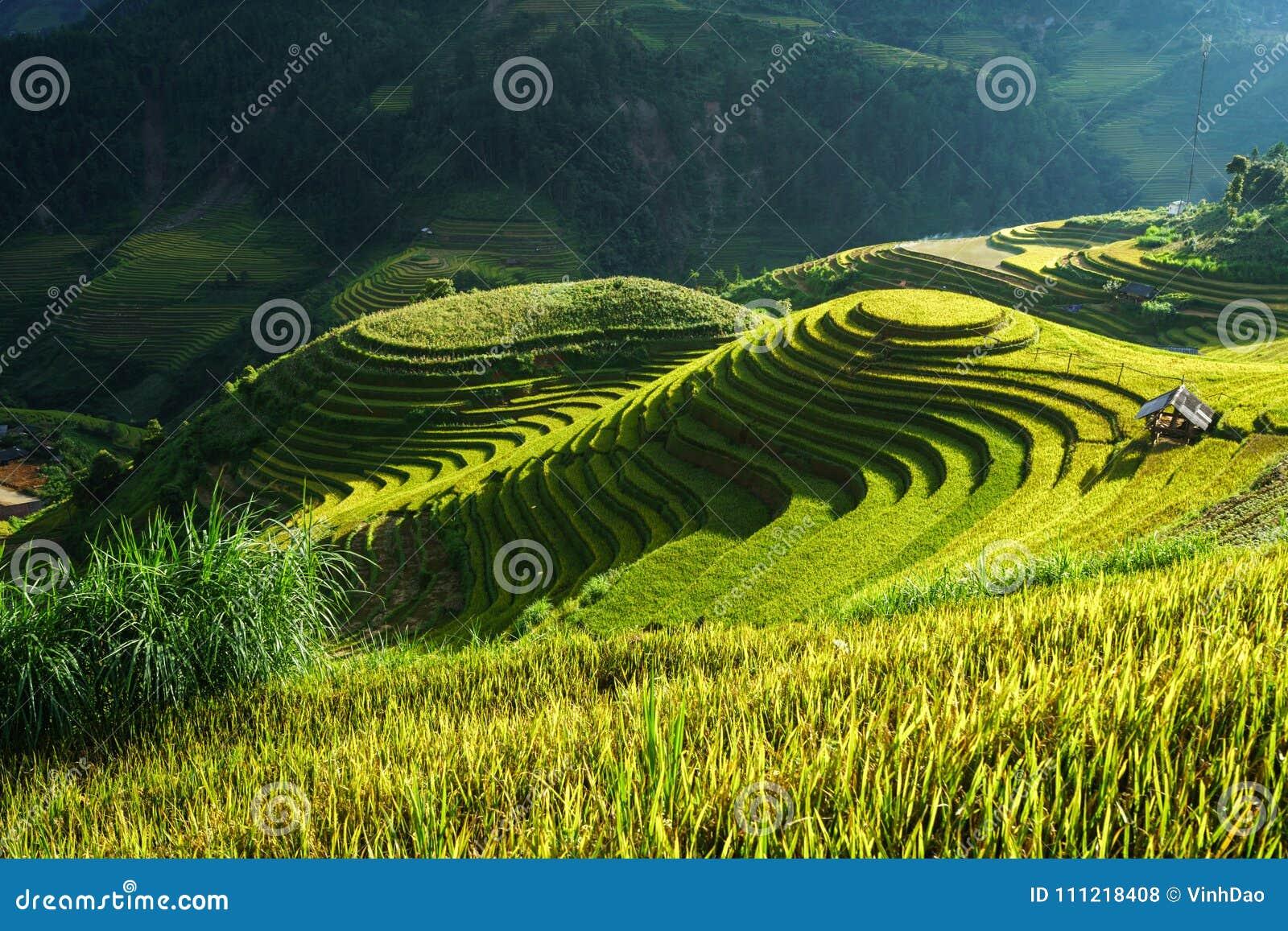 Terrasvormig padieveld in oogstseizoen in Mu Cang Chai, Vietnam Populaire de reisbestemming van Mamxoi