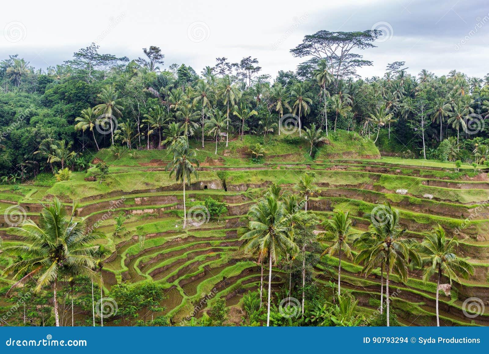 Terraza De La Plantación Del Arroz En Sri Lanka Foto De