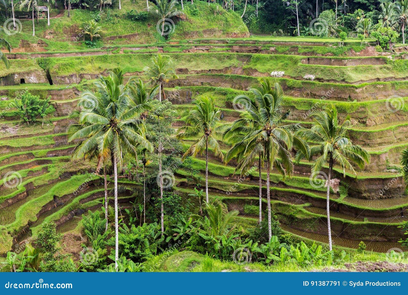 Terraza De La Plantación Del Arroz En Sri Lanka Imagen De