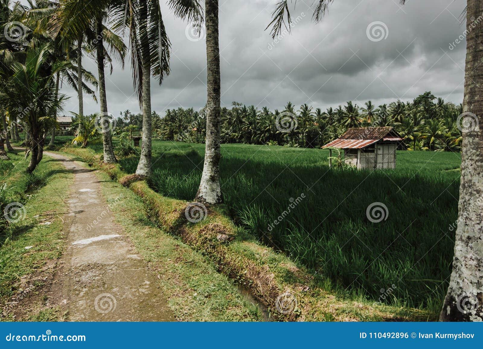Terraza Verde En Bali Indonesia Del Arroz Del Campo Foto De