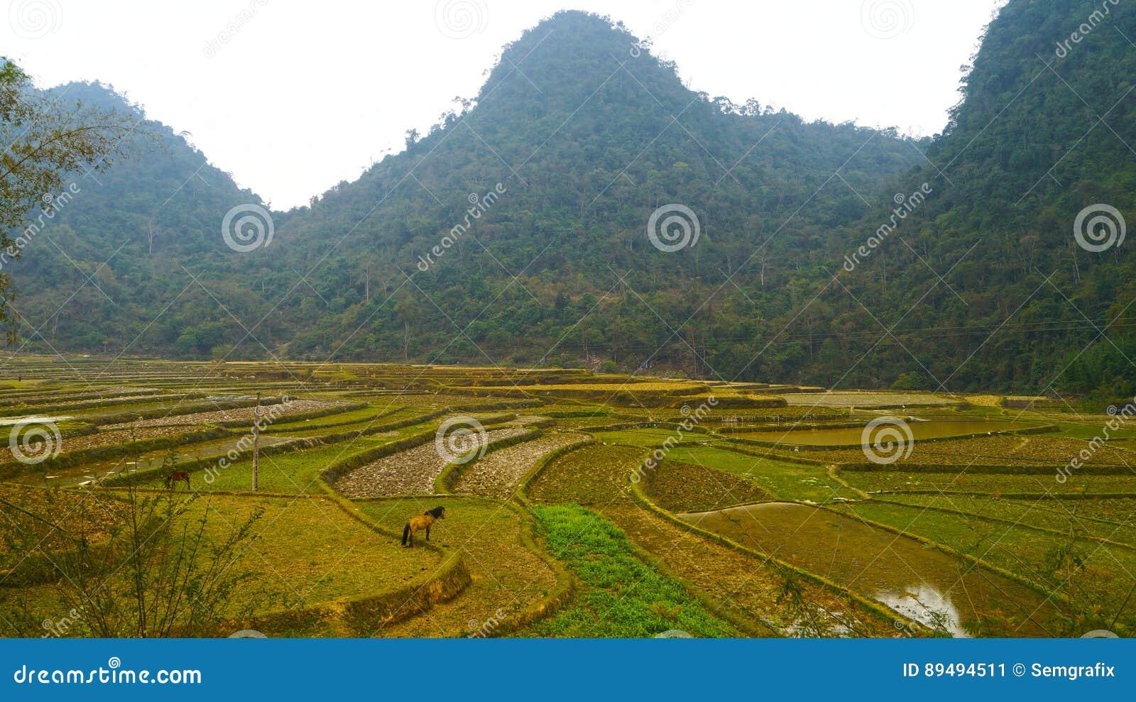 Terrazas Del Arroz De Vietnam Del Norte Imagen De Archivo