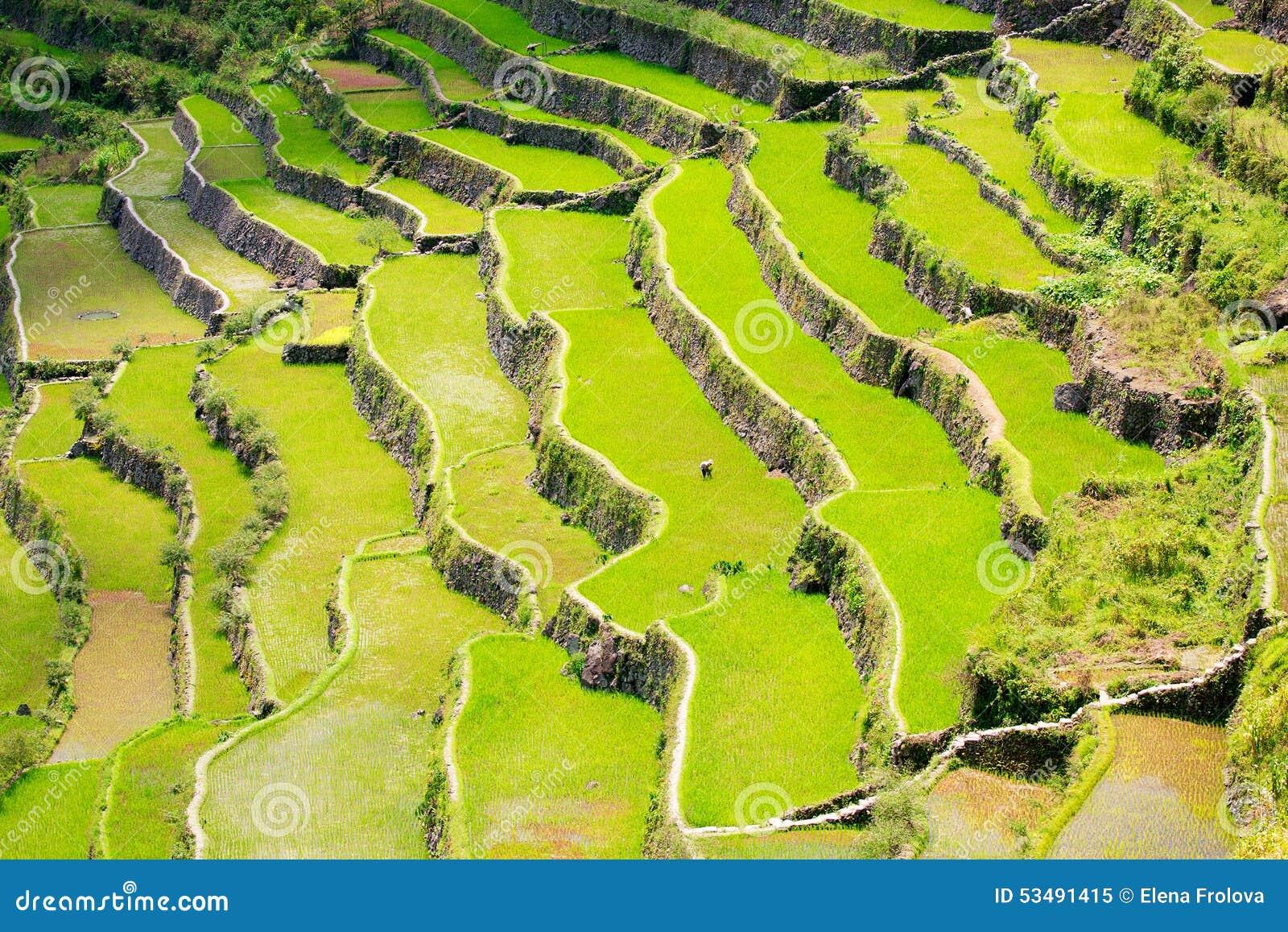 Terrazas Del Arroz En Las Filipinas Cultivo Del Arroz En El