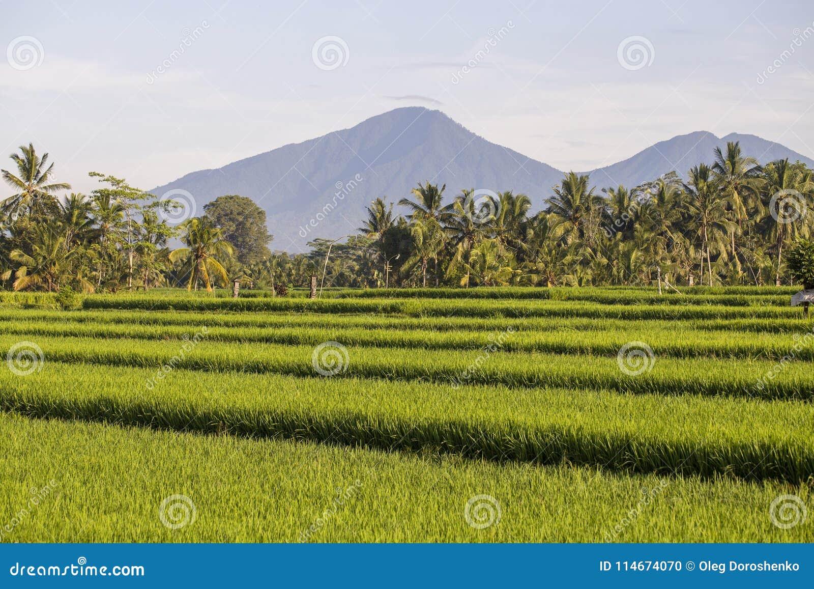 Terrazas Del Arroz Volcán Y Palmeras Verdes Hermosos Por