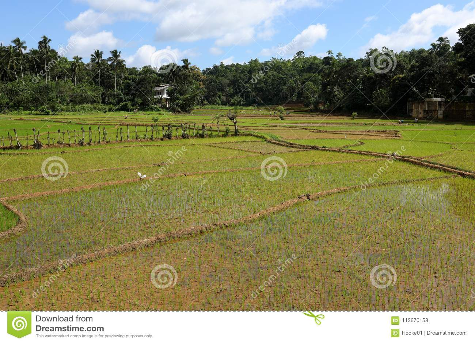 Terrazas Del Arroz Y Cultivo Del Arroz En Sri Lanka Foto De