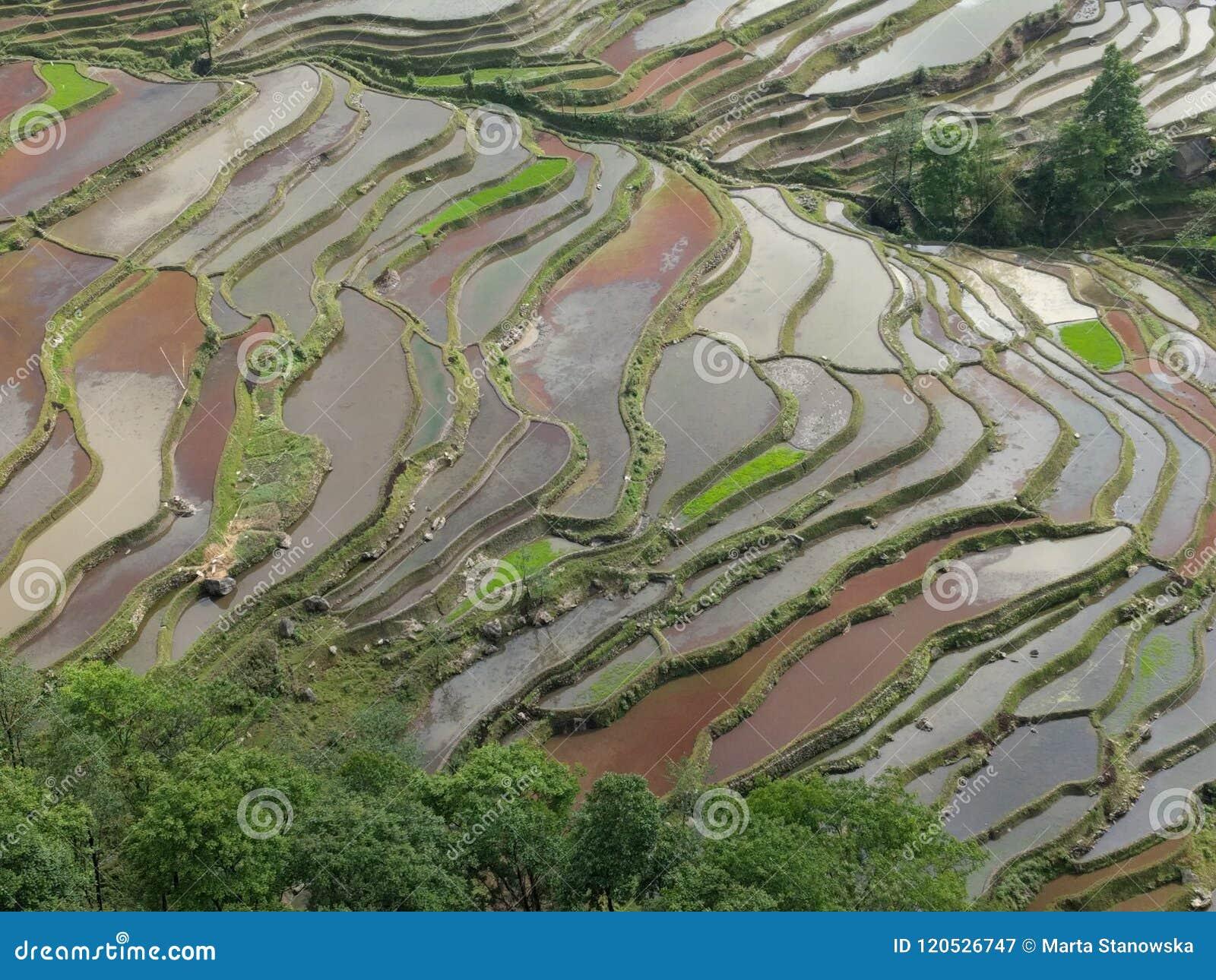 Terrazas Del Campo Del Arroz En Yunnan China Imagen De