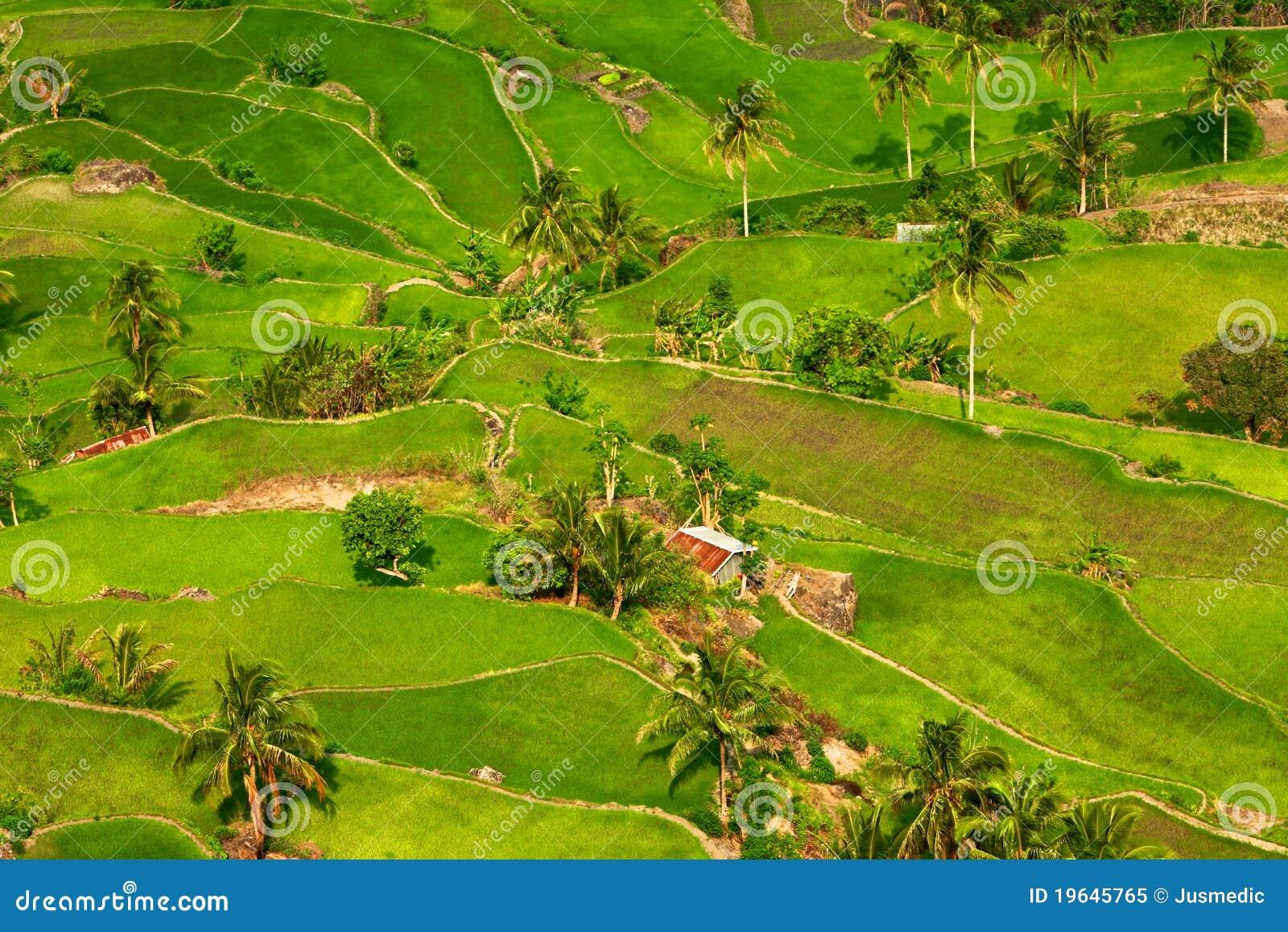 Terrazas Tropicales Del Arroz Imagen De Archivo Imagen De