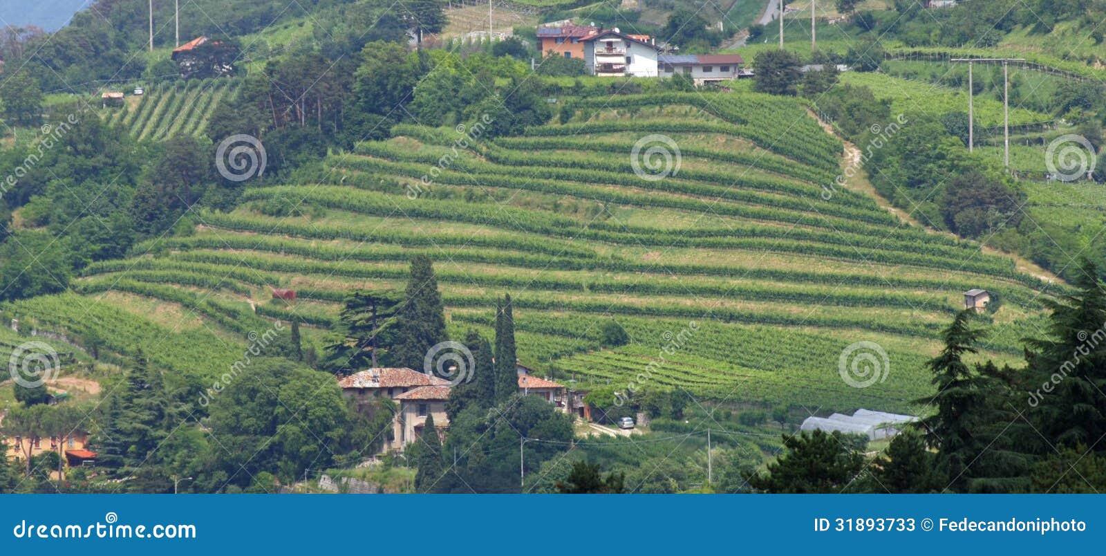 Terrazzamento Per Coltivazione Della Vite In Una Collina In Italia ...