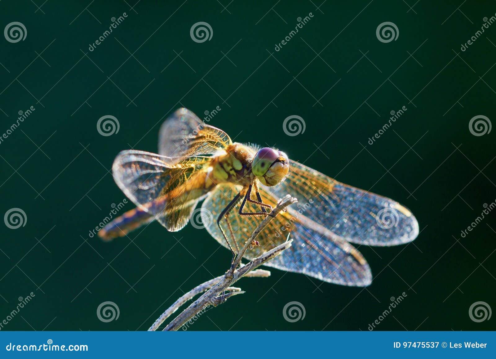 Terre dorate della libellula