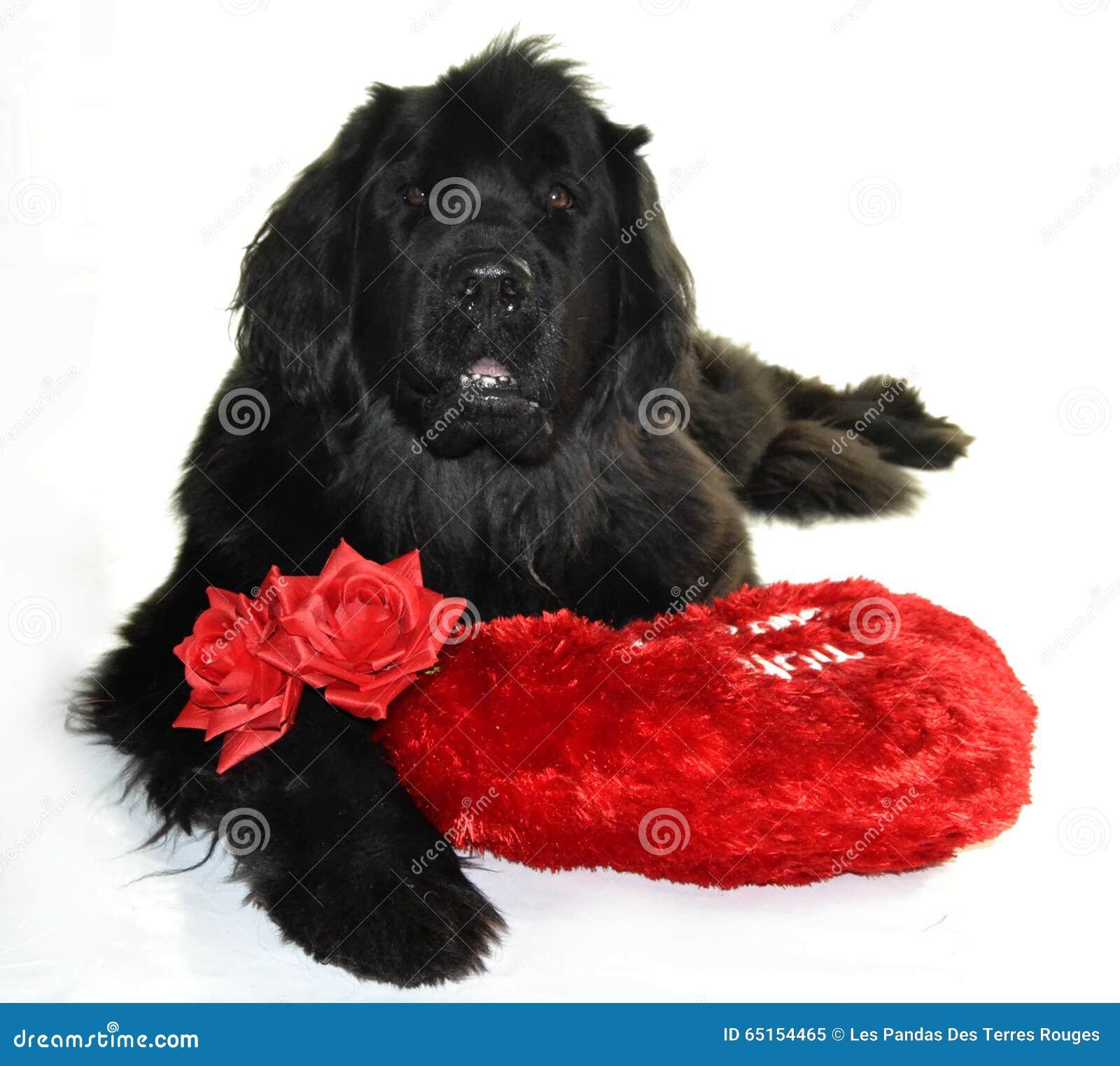 Terre Neuve Newfounland Dog Love St Valentin Romantic