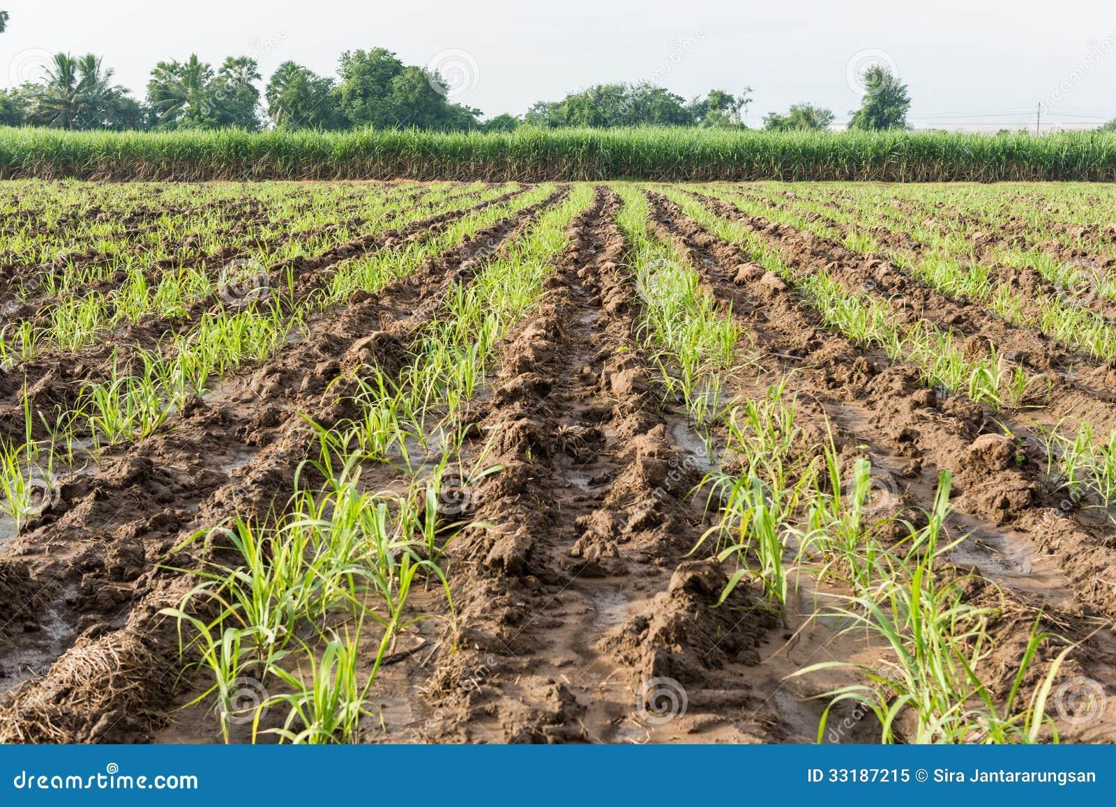 Terreno coltivabile della canna da zucchero del bambino